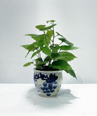 【観葉植物 】カンガルーアイビー  / ブドウ鉢