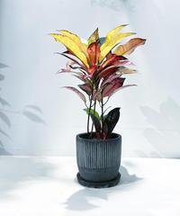 【観葉植物 】クロトン  akebono / african line pot