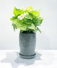 【観葉植物】シンゴニウム /  baruna ヒスイpot