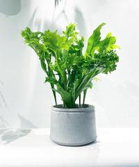 【観葉植物 】 ミクロソリウム グリーンフレーム  / cement low pot