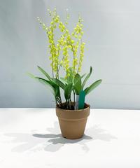 【花後 】鉢植ラン オンシジューム オビリザタム  / ぶどう鉢