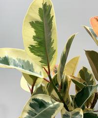 【観葉植物 】フィカス・ティネケ   /  glazed pot  gray