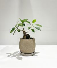 【観葉植物 】ミニガジュマル  / crack skin pot beige