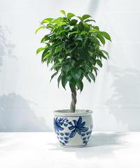 【観葉植物】フィカス ベンジャミンスタンダード仕立て  /  ぶどう鉢φ15