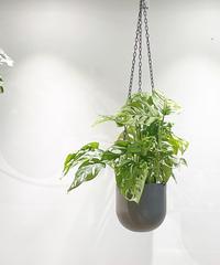 【観葉植物 】マドカズラ / チェーンハンギング ブラウン