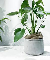 【観葉植物 】モンステラ / cement low pot φ20