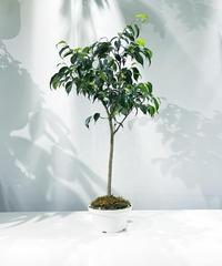 【観葉植物】一点ものフィカス ベンジャミン 盆栽