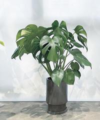 【観葉植物】モンステラ デリシオサ  / grazad tall pot LL