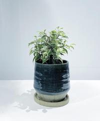 【観葉植物】フィカス ベンジャミン ラブリー /  藍竹ポット