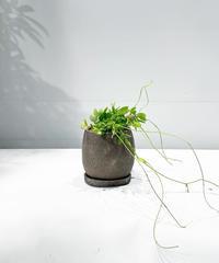 【観葉植物 】ディスキディア カンガルーポケット  / crack skin pot brown