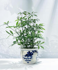 【観葉植物】シェフレラ コンパクタ / ぶどう鉢