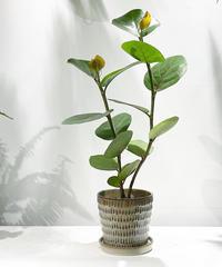 【観葉植物 】シーグレープ  / uroco brown pot φ17