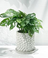 【観葉植物】マドカズラ / conch antique white pot