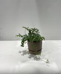 【観葉植物 】シュガーバイン  brown mat pot