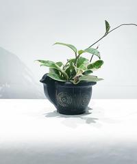【観葉植物】ホヤ カルノーサ バリエガータ/  アフリカンバードポット