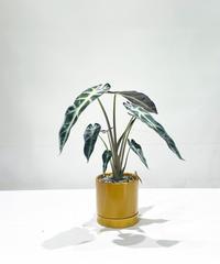 【観葉植物 】アロカシア バンビーノ /    slyinder mat pot  S yellow