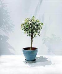 【観葉植物】フィカス ベンジャミン斑入り スタンダード仕立て  / ジュネス水色