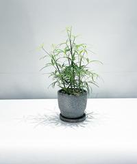 【観葉植物】シェフレラ ルフィーナ /  glazed crack pot gray
