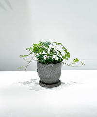【観葉植物 】シュガーバイン  /  crack skin pot  gray