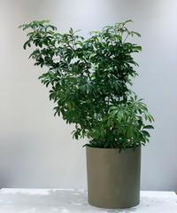 【観葉植物】シェフレラ・コンパクタ