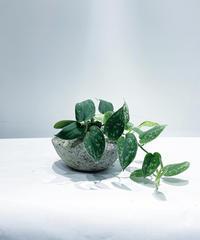 【観葉植物】 スキンダプタス  / stone pot