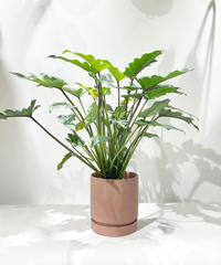 【観葉植物】フィロデンドロン クッカバラ  /  slynder mat pot pink