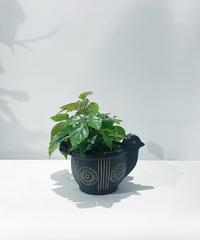 【観葉植物】グレープアイビー アフリカンバードポット