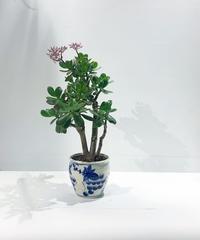 【観葉植物】カネノナルキ 花月/ ぶどう鉢