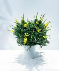 【屋外植物】ヒメエニシダ