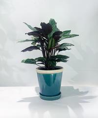 【観葉植物】カラテア・ロウイサエ ミスト blue   pot