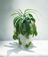 【観葉植物 】  ネペンテス アラータ   /  unglazed curving cut pot tall