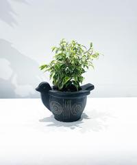 【観葉植物】フィカス ベンジャミン ラブリー /  アフリカンバードポット