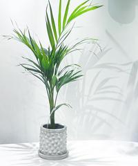 【観葉植物 】アレカヤシ /  conqu  ancient  pot φ13