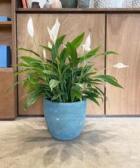 【観葉植物】スパティフィラム / blue pot