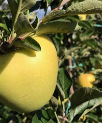 りんご シナノゴールド 家庭用 約5キロ入り(19-20玉)税込 送料別