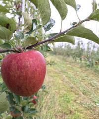 りんご サンふじ 家庭用 約5㎏入り(20玉)