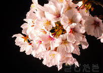【写真】桜2