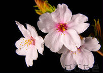 【写真】桜1