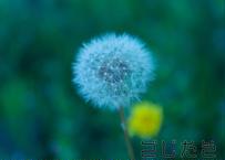 【写真】エモいタンポポの綿毛