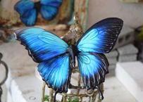 蝶のマグネット オオルリアゲハ メネラウスモルフォhalf blue plus Lsize