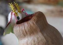 ベルギーナッツの穴が気になるオナガミズアオ