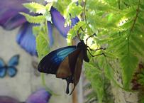 オオルリアゲハのオブジェ blue plus.col Lsize