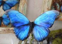 蝶のマグネット メネラウスモルフォ blue plus.col Lsize