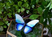 蝶のオブジェ メネラウスモルフォ glacier plus.col 2Ssize