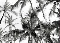 Palm Trees B&W  フレーム入(特大)