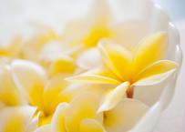Yellow Plumeria  マット入(中)