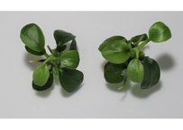 アヌビアスナナ プチ 組織培養株 (2株) 水上葉