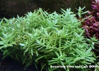 グリーンロタラ (15本) 水中葉
