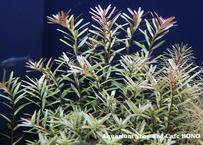 セイロン ロタラ  (10本)  水中葉