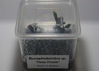 セール価格 ブセファランドラ sp. ディープ パープル  (組織培養) 1カップ